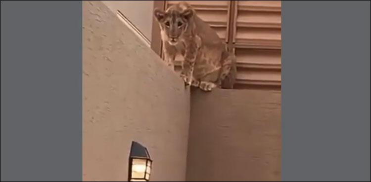 قربانی کا جانور ذبح ہوا تو شیر بھی حصہّ گھر میں گھس گیا، اہلخانہ خوفزدہ