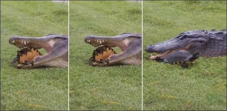 Trying to eat a crocodile turtle, video goes viral | Dharti News
